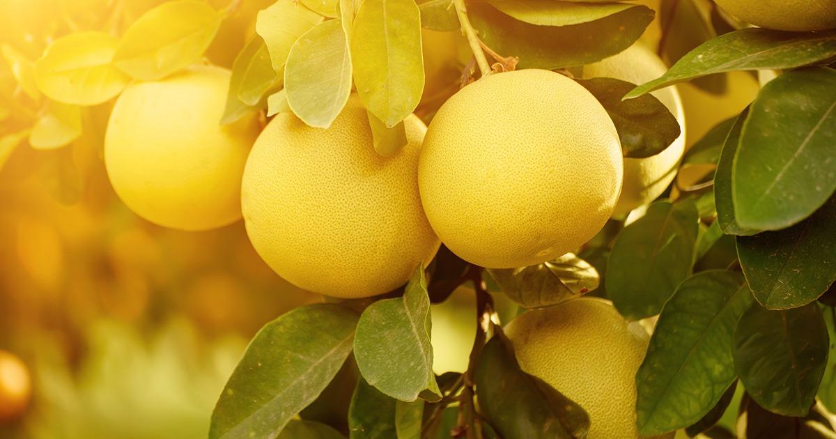 フルーツを食べる人 vol.9 グレープフルーツ
